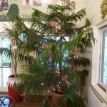 Norfolk Island Pine Christmas tree.