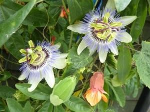 July 2013 Passiflora