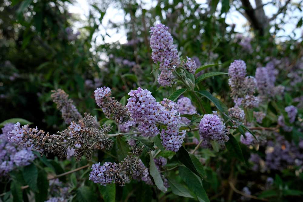 Buddleia officianalsi