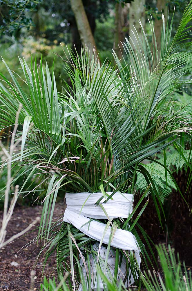 Butia Eriospatha Wrapped To Protect From Frost