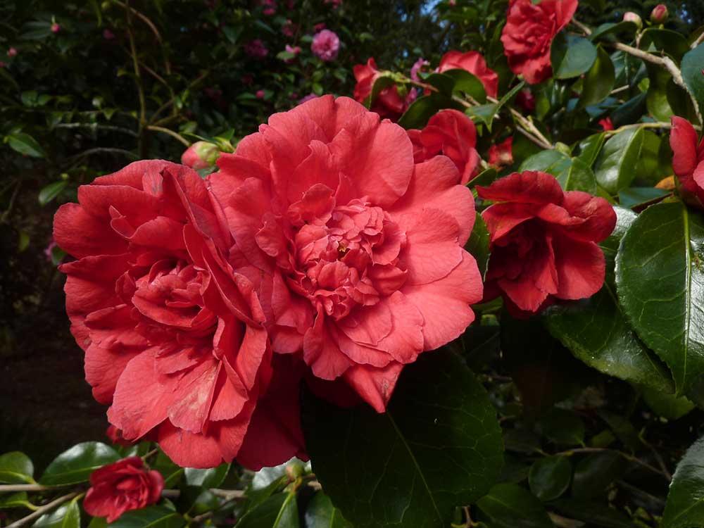 Camellia japonica 'Grand-Slam'