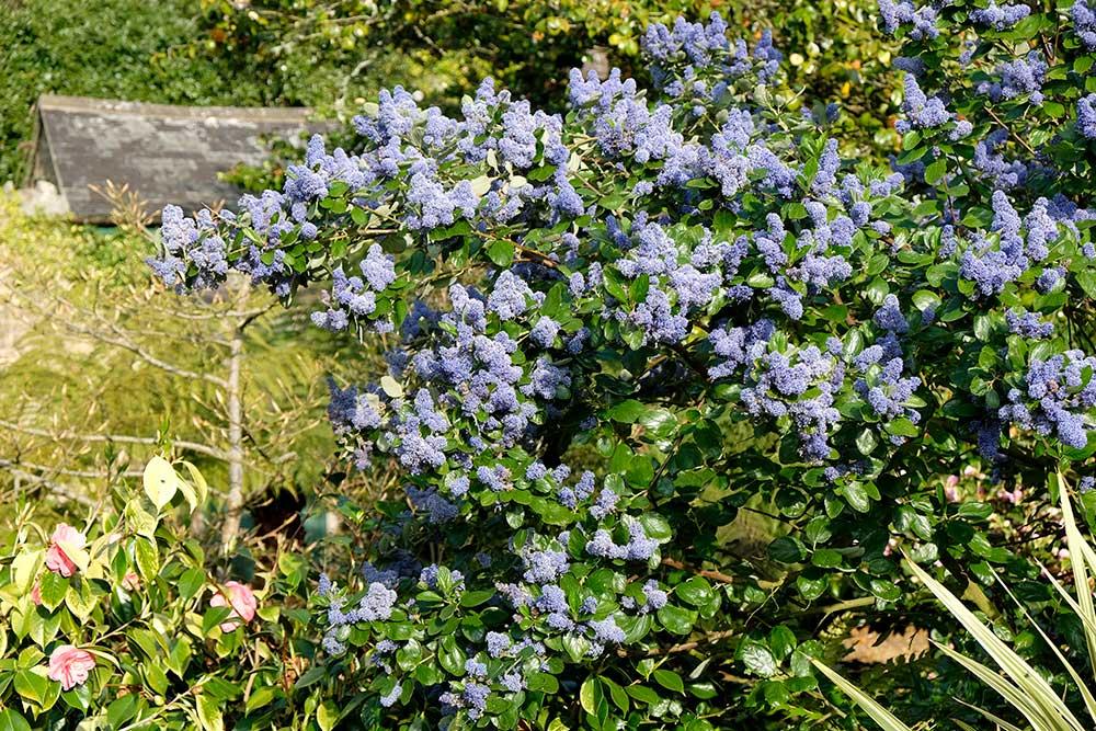 Ceonothus arboreus Trewithen Blue