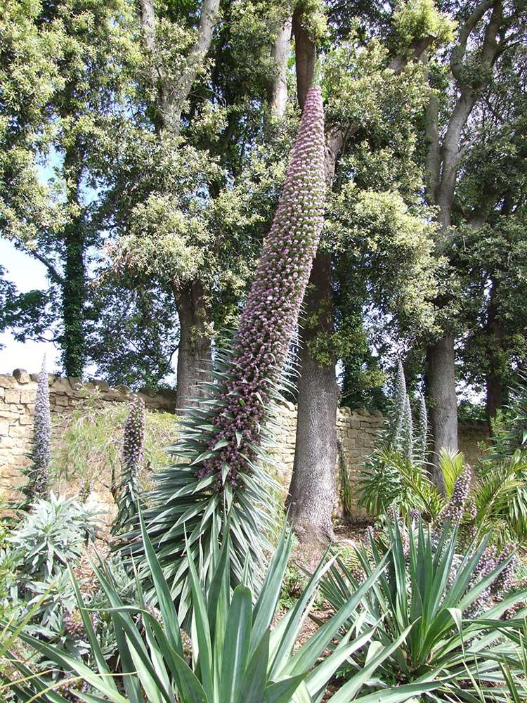 Echium pininana hybrid