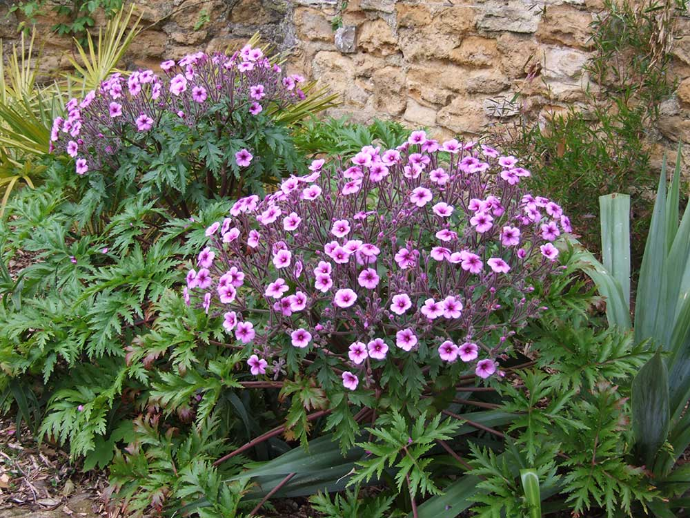 Geranium maderensis