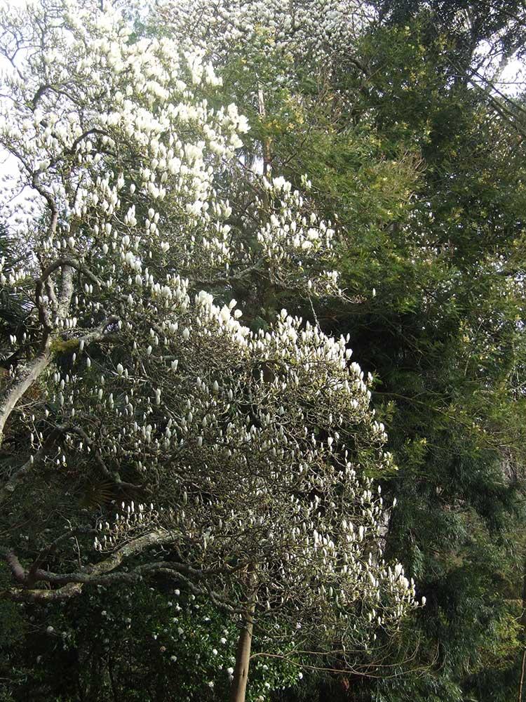 Magnolia x veitchii 'Isaca'