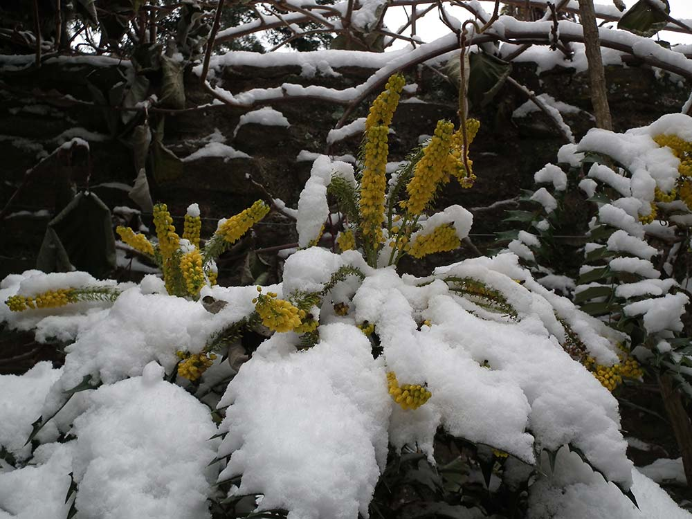 Mahonia Flowers In The Snow