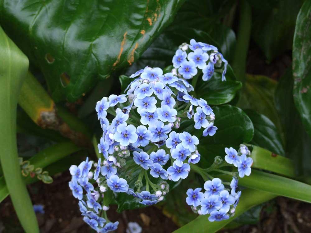 Mysotidium hortensia