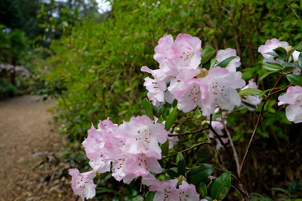 Rhododendron cilipense