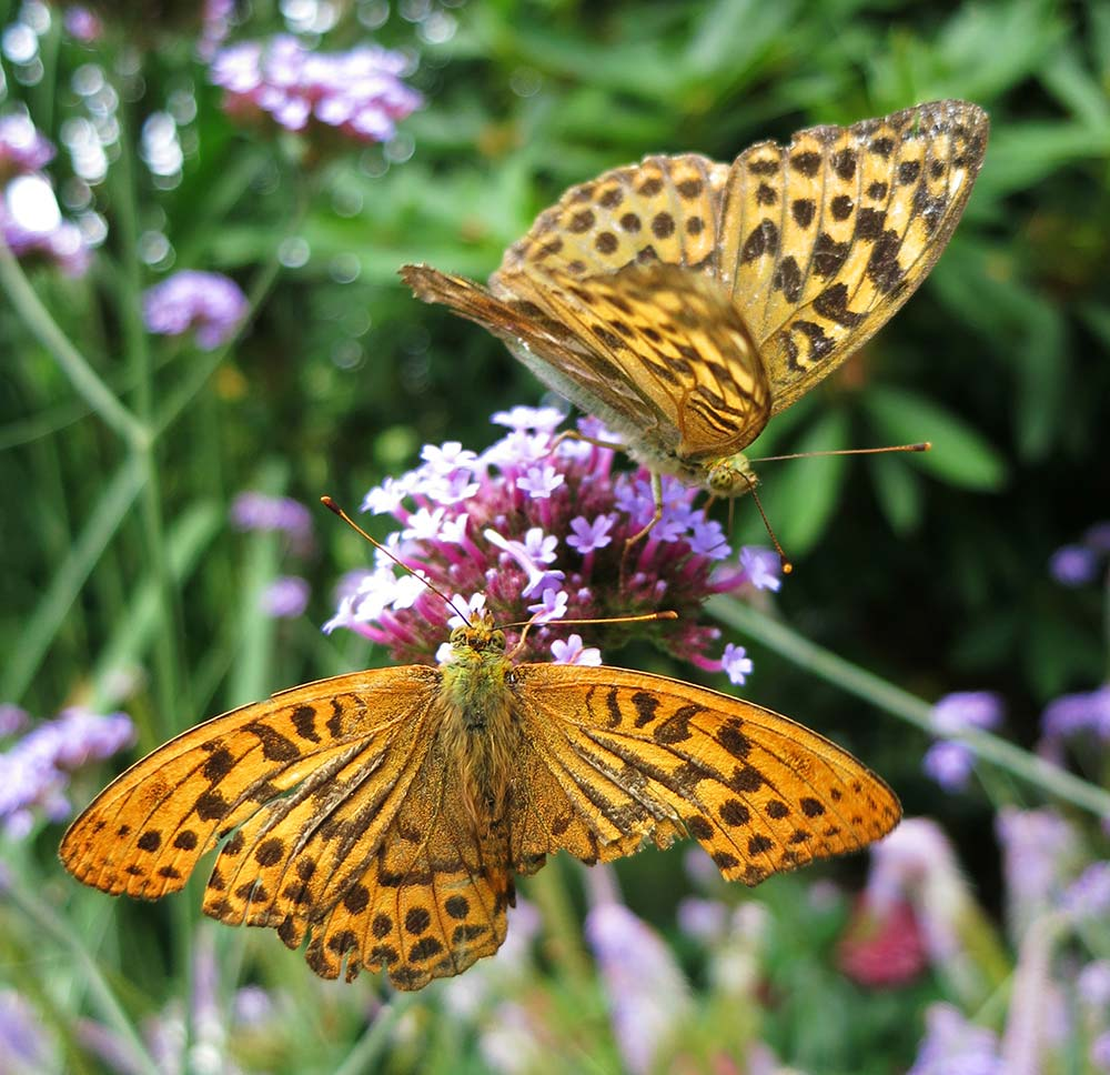 Butterflies Are Aplenty In The Gardens In August