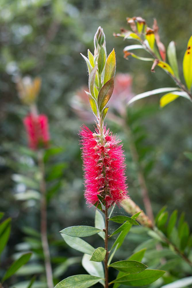 Crimson Bottlebrush (Callistemon citrinus 'Splendens')