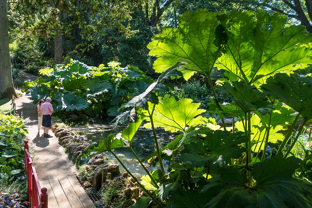 Gunnera leaves tower above the pond in the Woodland Valley