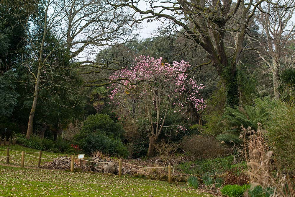 Magnolia Campbellii spotted from the Woodland Valley