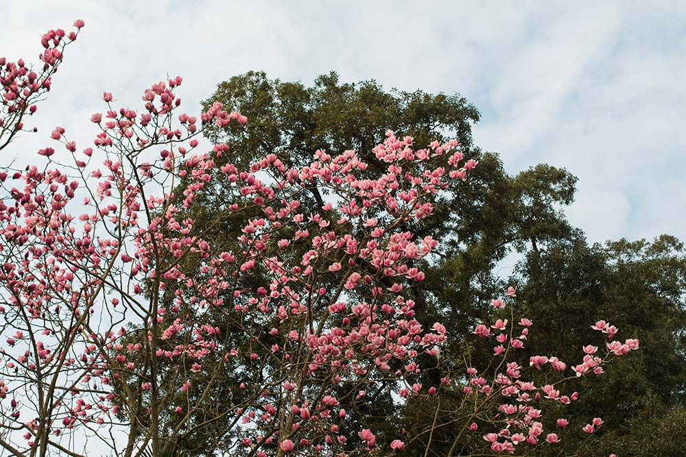 Looking up at Magnolia campbellii