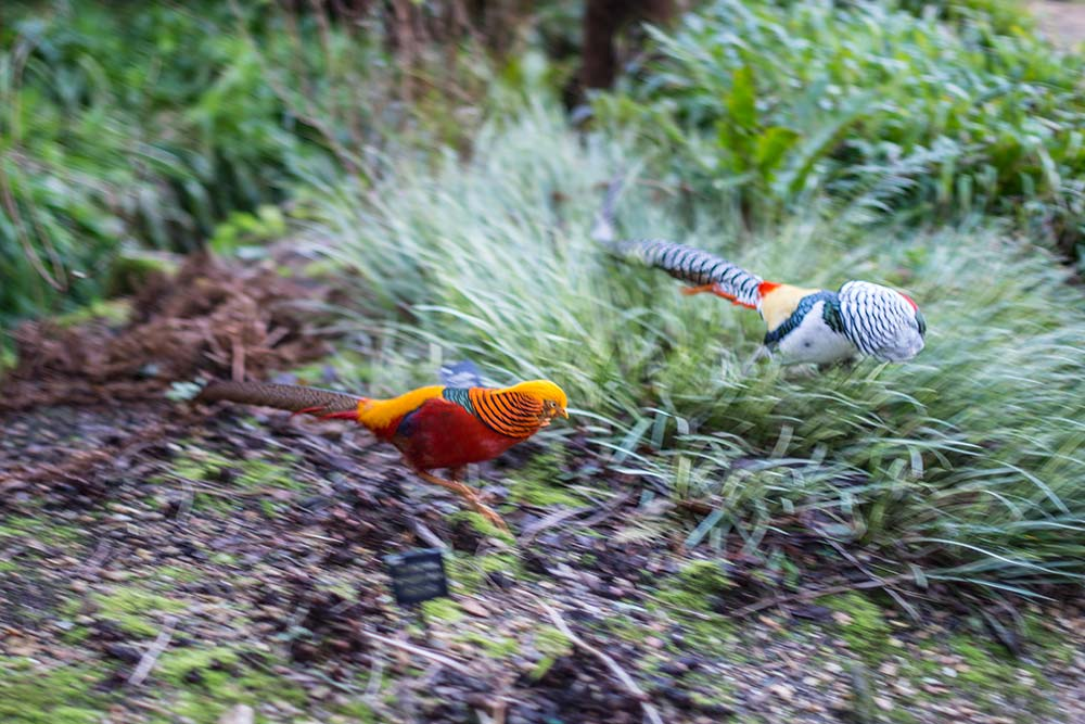 Pheasants running through the undergrowth