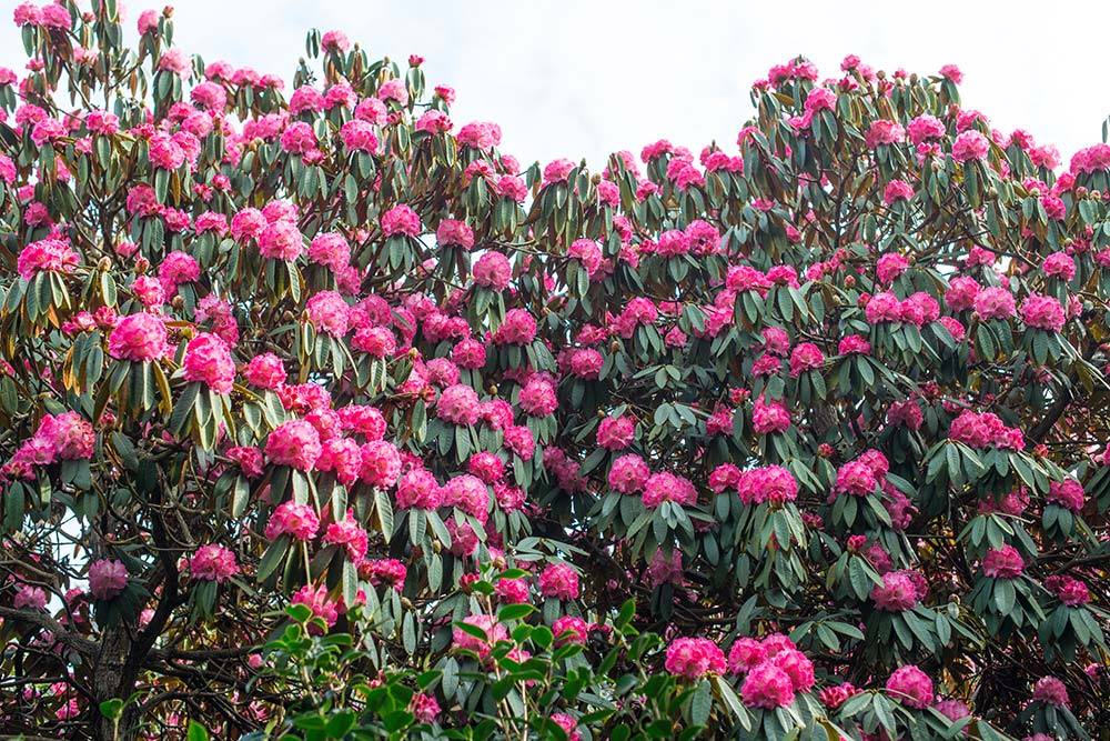 Rhododendrons In March