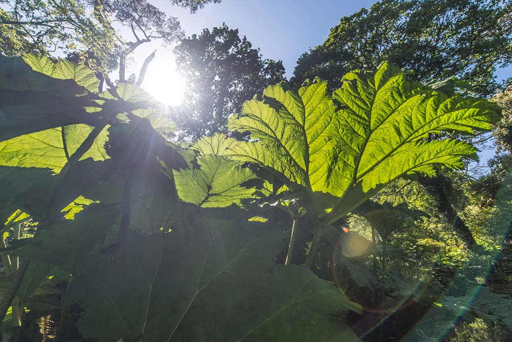 Sun shining through the Gunnera leaves