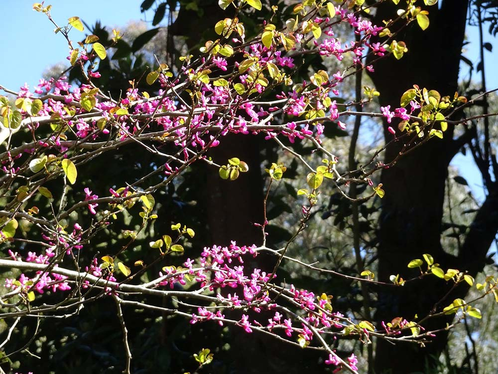The 'Judas' Tree - Cercis Siliquastrum