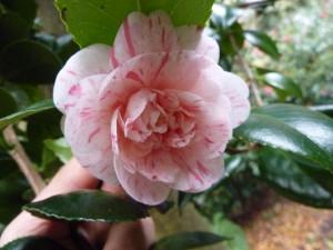Camellia japonica 'Marguèrite Gouillon'