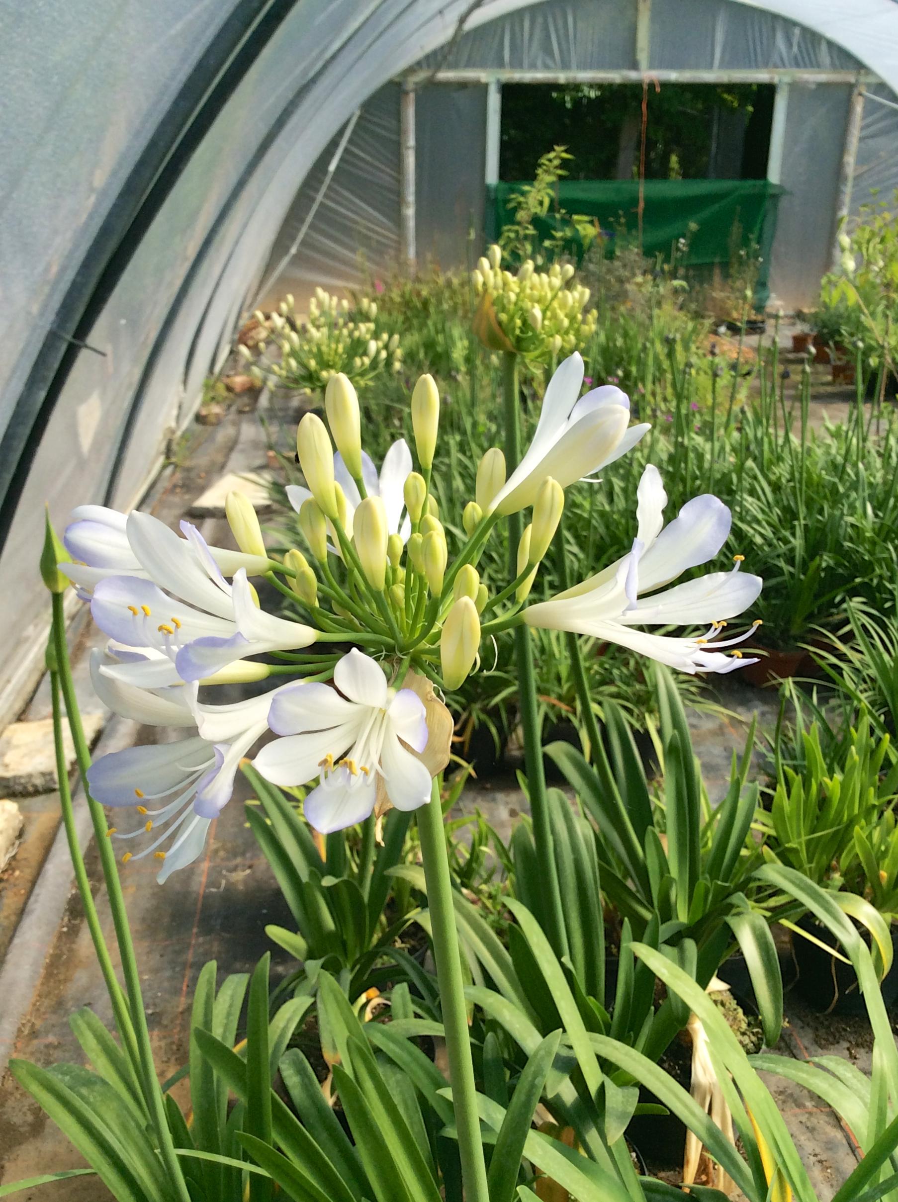 June 22nd Agapanthus Time Abbotsbury Subtropical Gardens