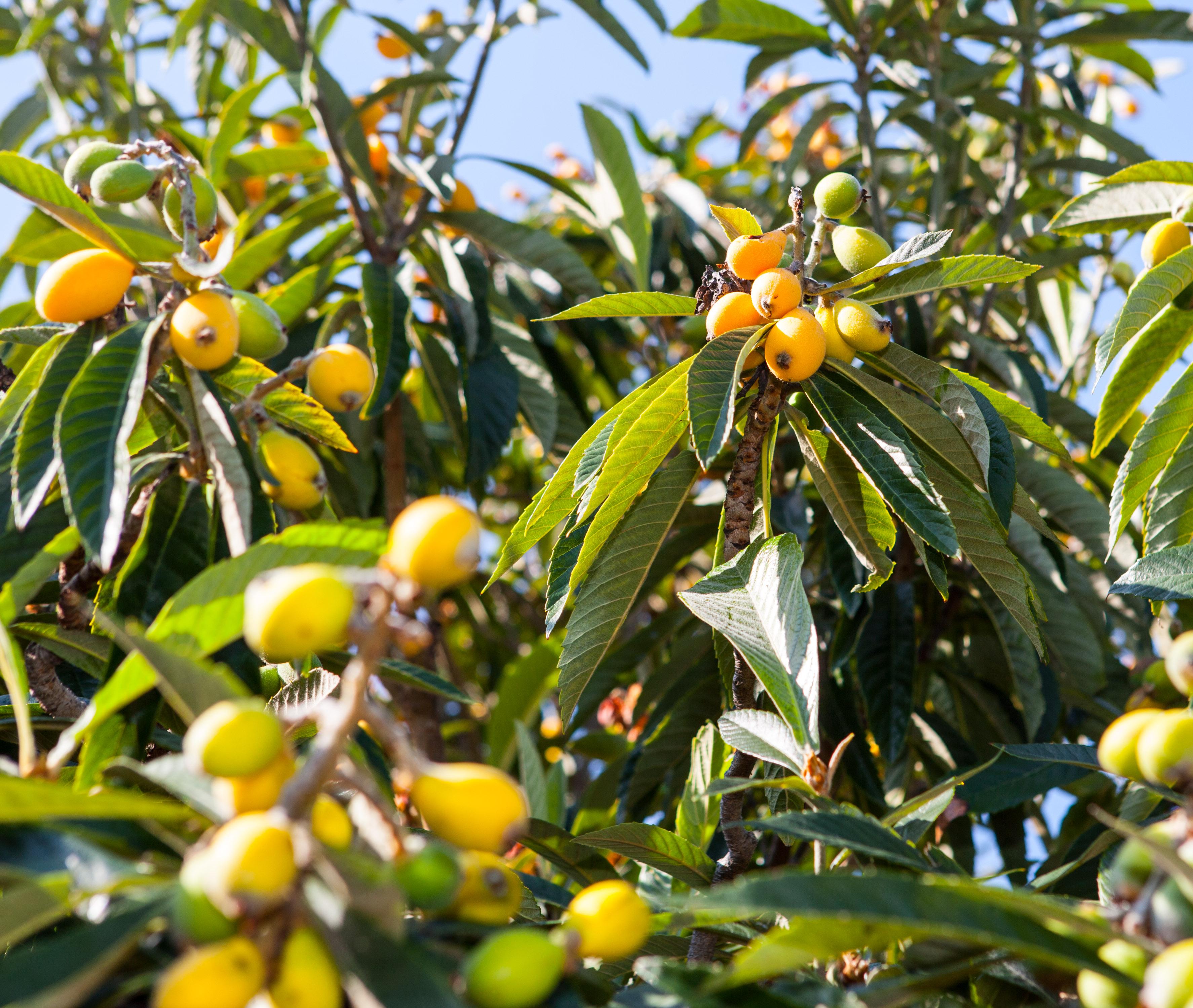 August 2014 abbotsbury subtropical gardens for Fruit trees
