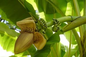 Musa fruit