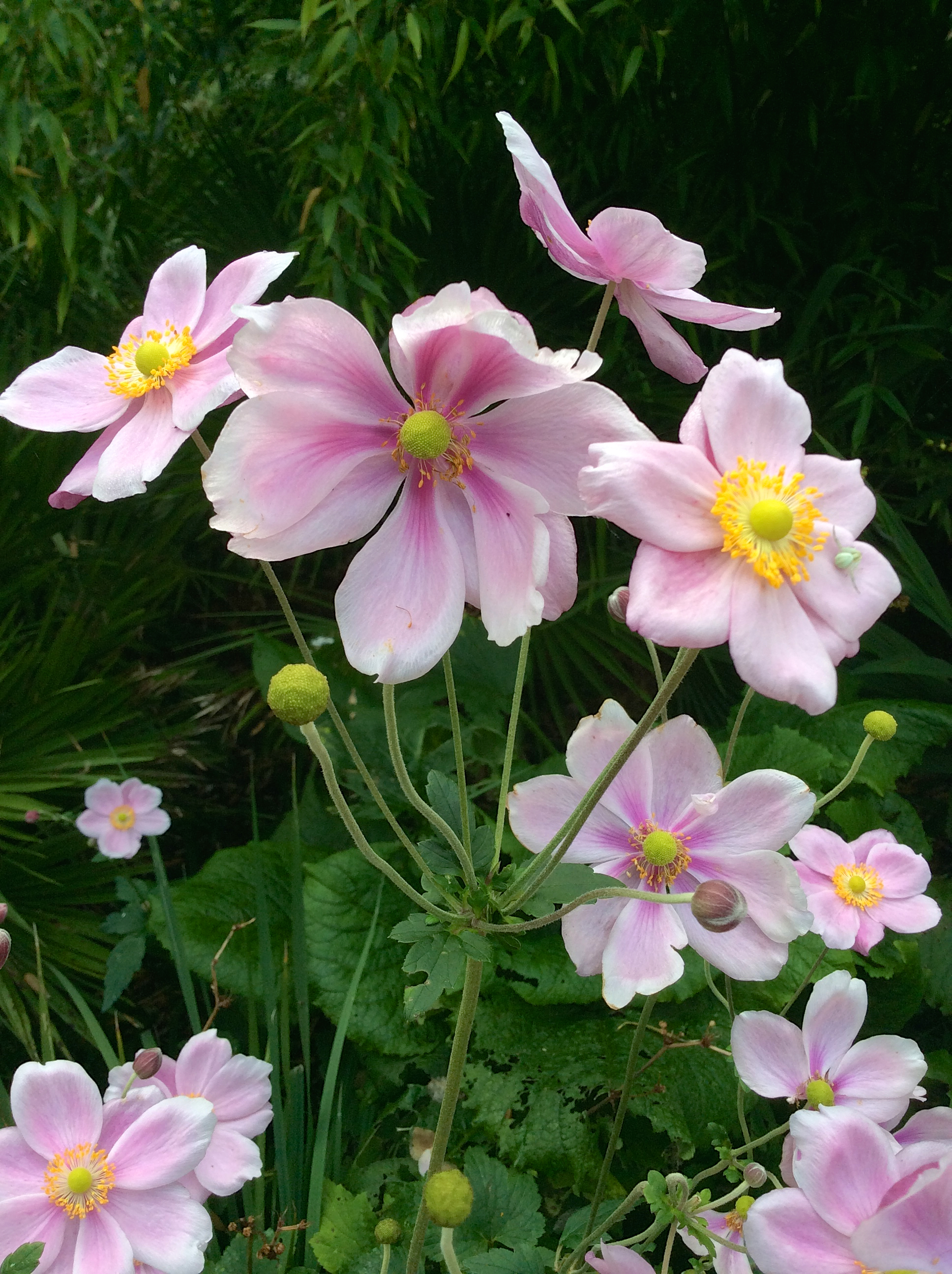 September still lots of late colour abbotsbury subtropical gardens next are the ever popular japanese anemones which give a fantastic display of delicate pink or white flowers at this time of year we have several varieties mightylinksfo Gallery