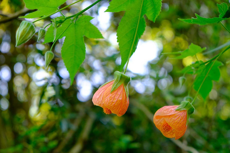 Abutilon-'Apricot-Glow'