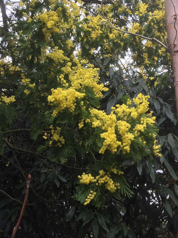 Acacia-dealbata