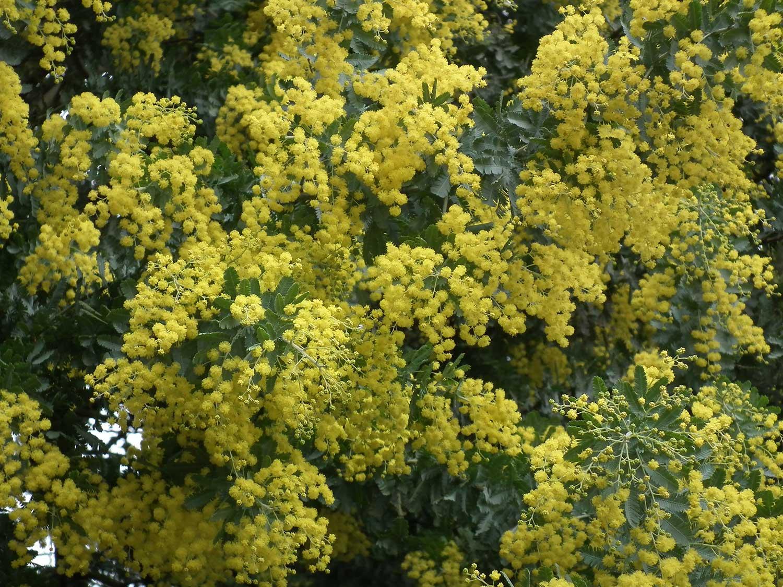 Acacia-rhetinodes-2