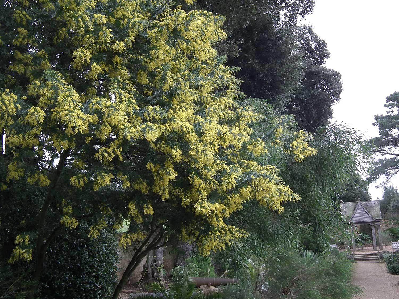 Acacia-rhetinodes