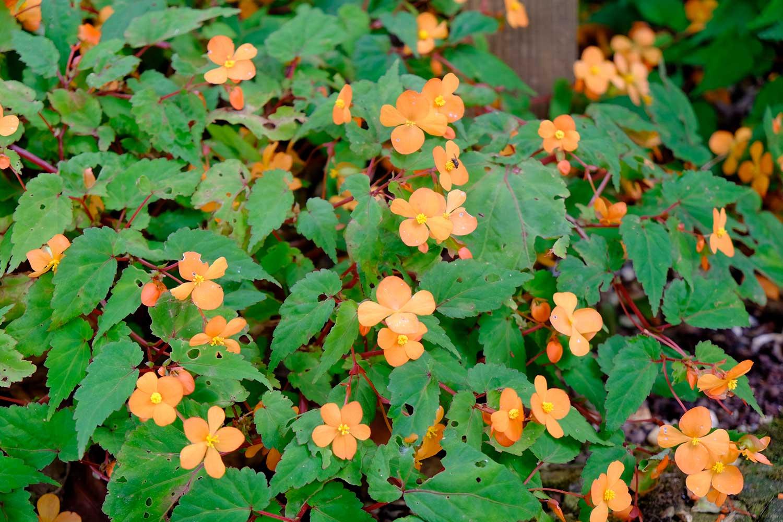 Begonia-sutherlandii