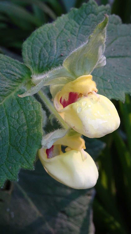 Calceolaria-perfoliata