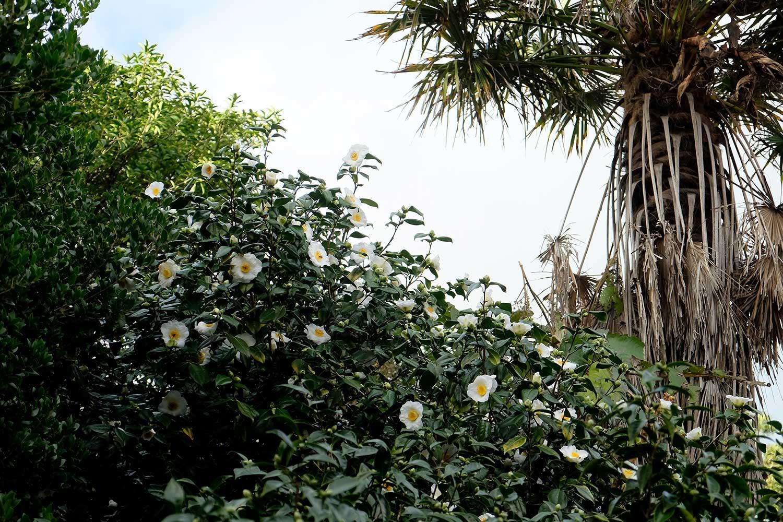 Camallia-japonica-'Alba-Simplex'