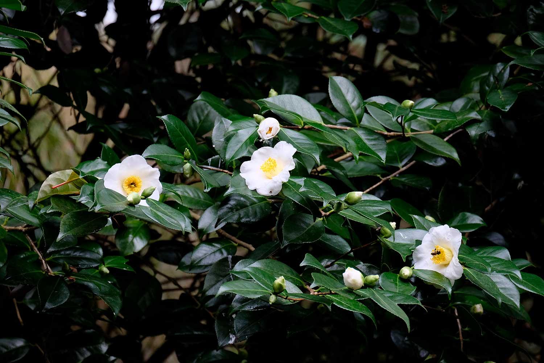 Camellia-Alba-simplex