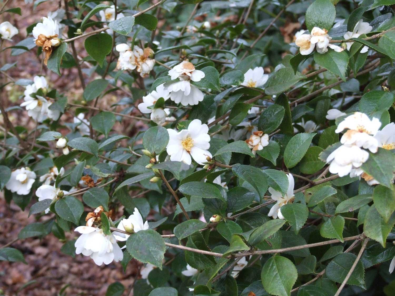 Camellia-grissii
