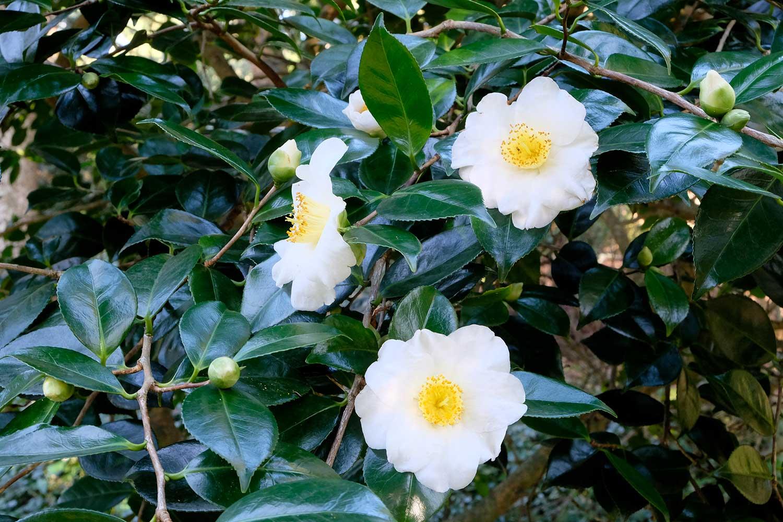 Camellia-japonica-'Alba-Simplex'