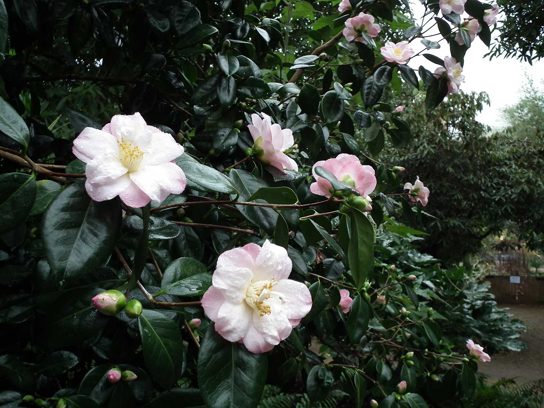 Camellia-japonica-'Berenice-Body'-Jan-2012