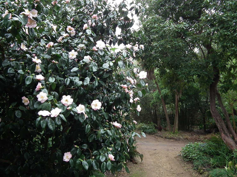 Camellia-japonica-'Berenice-Body'