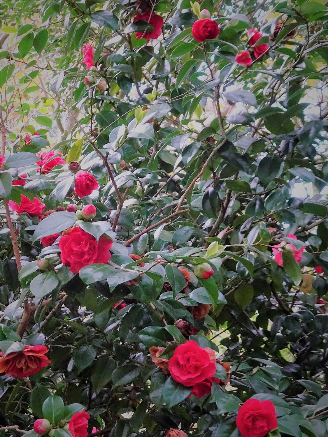 Camellia-japonica-'Miss-Charleson'