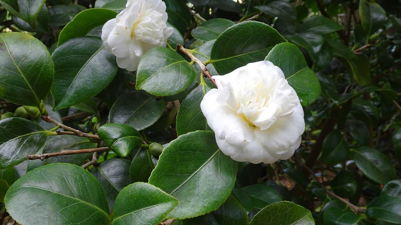Camellia-japonica-Nobillisima