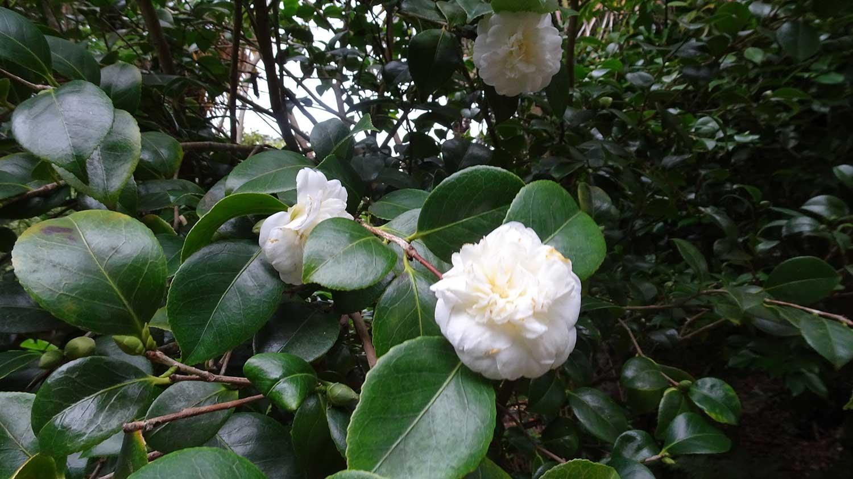 Camellia-japonica-'Nobillisima'