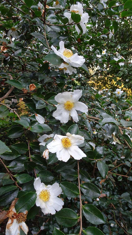 Camellia-sasanqua-Narumi-Gata