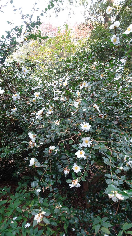 Camellia-sasanqua-'Narumi-Gata'