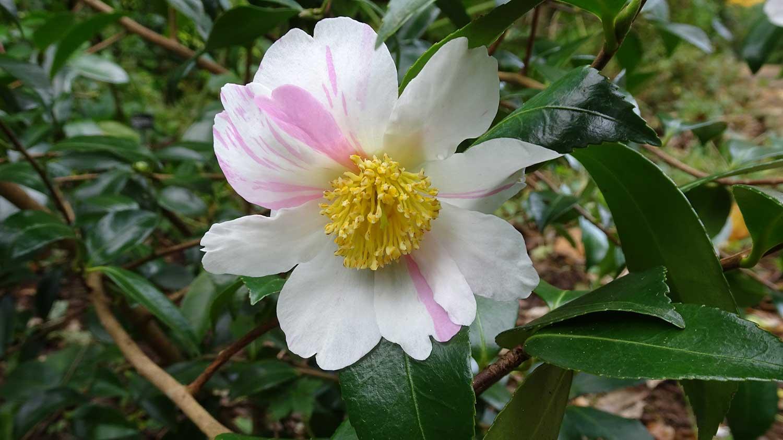 Camellia-sasanqua-Souvenir-de-Claude-Brivet
