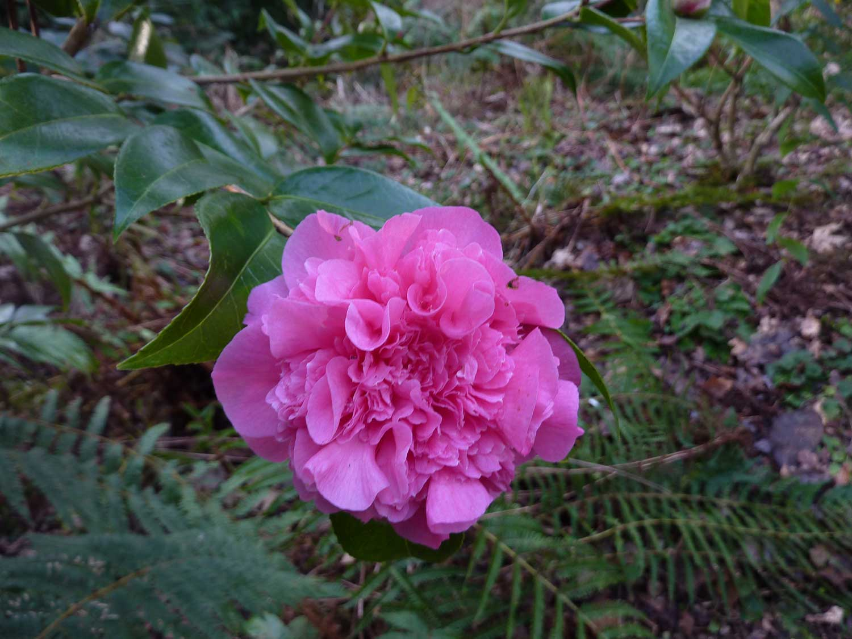 Camellia-x-williamsii-'Debbie'-January2012