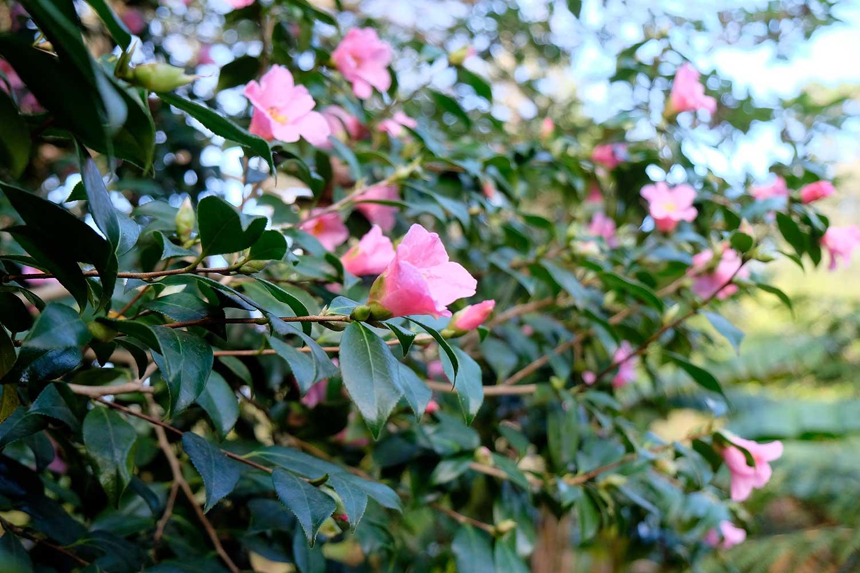 Camellia-x-williamsii-'St-Ewe'