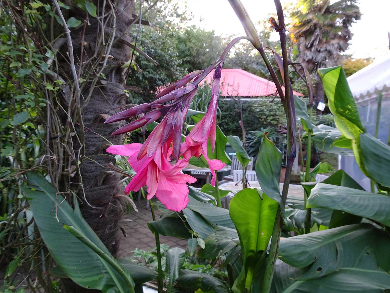 Canna-irridiflora