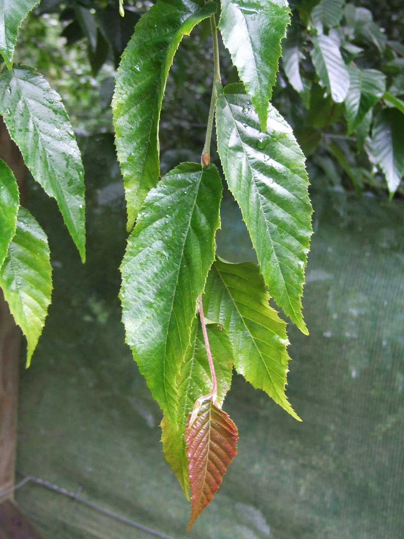 Carpinus-pubescens-L654