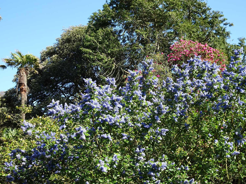 Ceanothus-arboreus-'Trewithen-Blue'