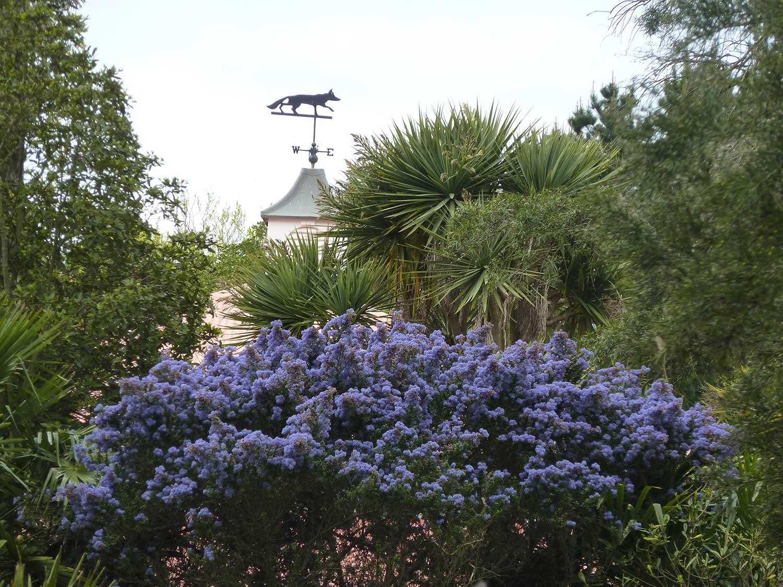 Ceonothus-arboreus-'-Trewiden-Blue'